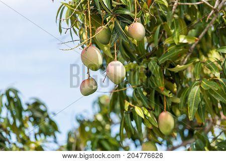 Fruits Of Mango Against The Sky, Vinales, Pinar Del Rio, Cuba. Copy Space For Text.