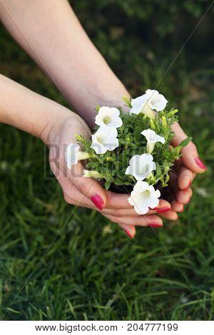 Bush of petty white petunia in female hands
