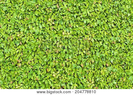 Seamless texture of green leaves background hedge.