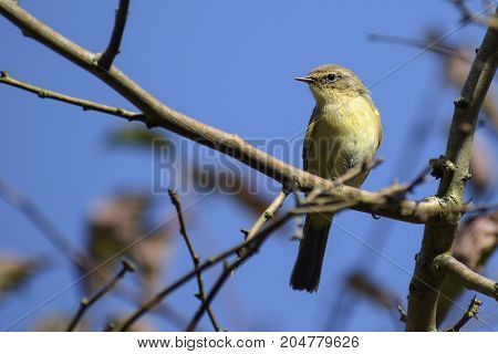 common chiffchaff (Phylloscopus collybita) on a branch against the blue sky a small bird from the family of leaf warbler close up portrait