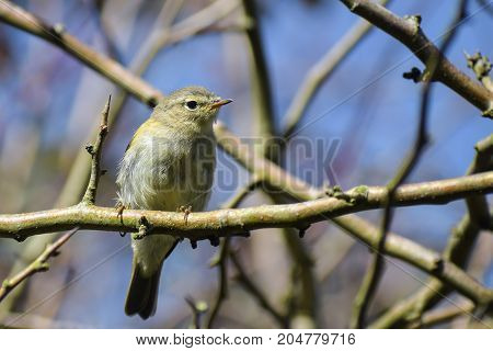 common chiffchaff (Phylloscopus collybita) in the branches against the blue sky a small bird from the family of leaf warbler close up portrait