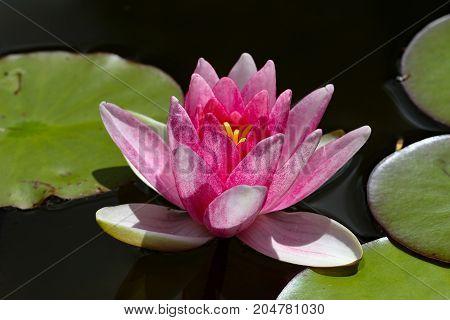 Flowers / Beautiful lotus flower in pond .