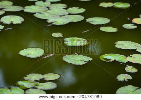 Nenuphar Leaves On Water