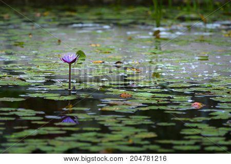 Lotus Flower In A Botanical Garden