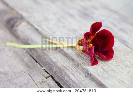 Burgundy Nasturtium Flower On Old Wooden Surface In The Garden.