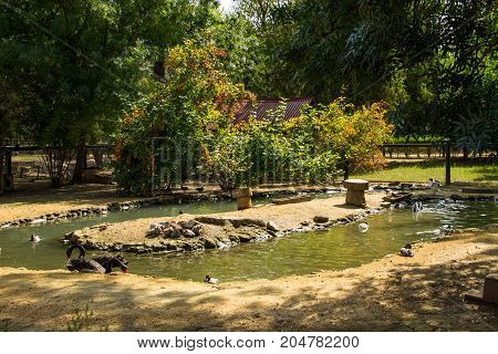 Black Swans And Ducks Swimming In Artificial Pond