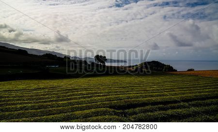 View to tea fields at Sao Miguel island Azores Portugal