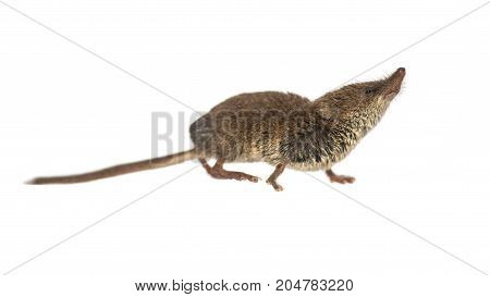 Eurasian Pygmy Shrew On White Background