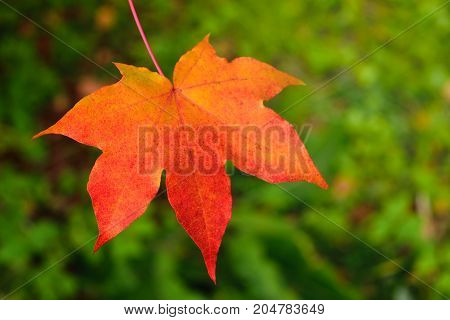 Single orange maple leaf on blurry green background. Autumn in park. Toned.