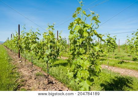 Agriculture, Vineyard In Spring.