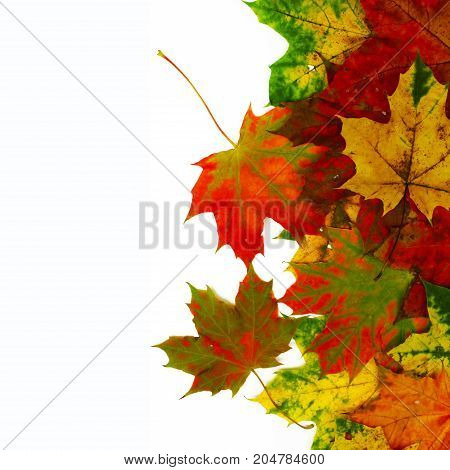 Colorful maple leaves isolated on white. Autumn background