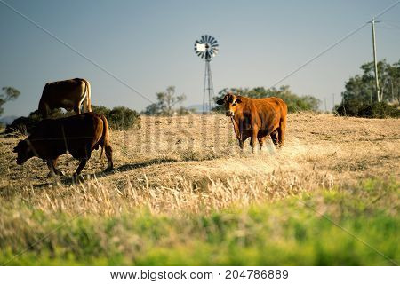 Cows And A Windmill In The Countryside.