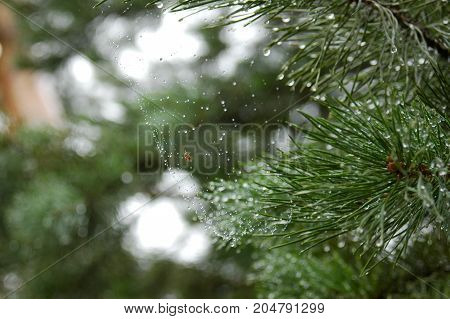 View pine branches with dew drops spider web and spider . mountain pine