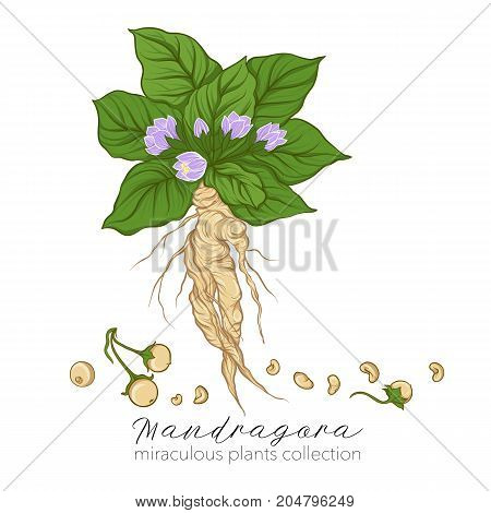 Mandragora plant. Colored stock line vector illustration.