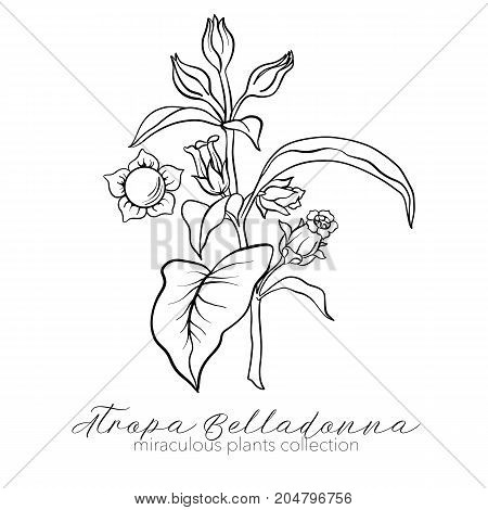 Belladonna plant set. Outline stock line vector illustration.