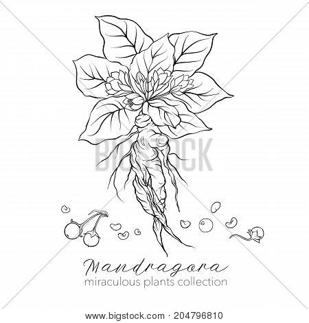 Mandragora plant. Outline stock line vector illustration.