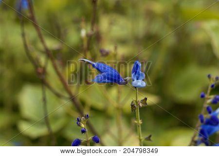 Blue Vine Sage (salvia Cacaliifolia)