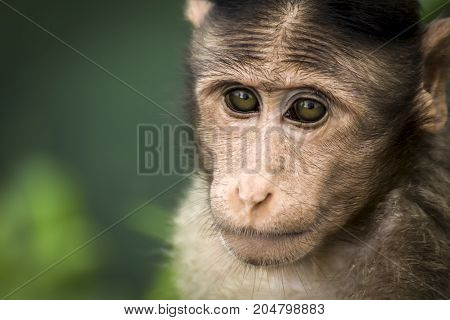 Bonnet Macaque monkey from western ghats Mahrashtra