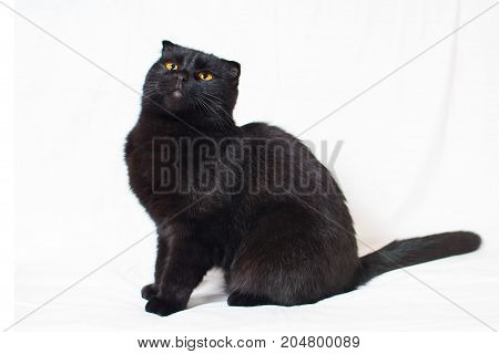 Black Lop-eared Cat Lies On A White Background