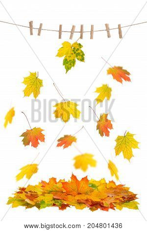Red and yellow falling maple leaves. Autumn leaf on clothes line