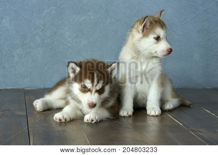 Two blue-eyed copper and light red husky puppies on a wooden floor and a gray-blue background