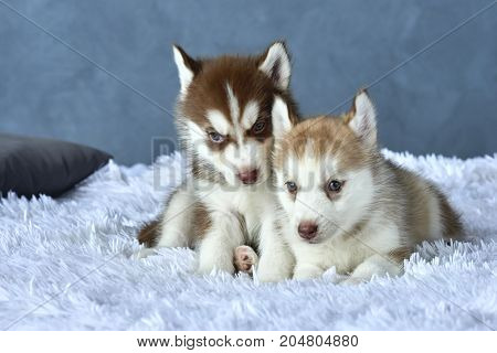 Two blue-eyed copper and light red husky puppies lying on white blanket