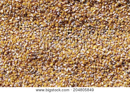 Corn grains to dry under the sun after harvesting