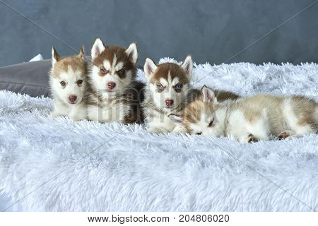 Four blue-eyed copper and light red husky puppies lying on white blanket