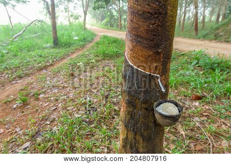 Close up of rubber tree in plantation, Thailand