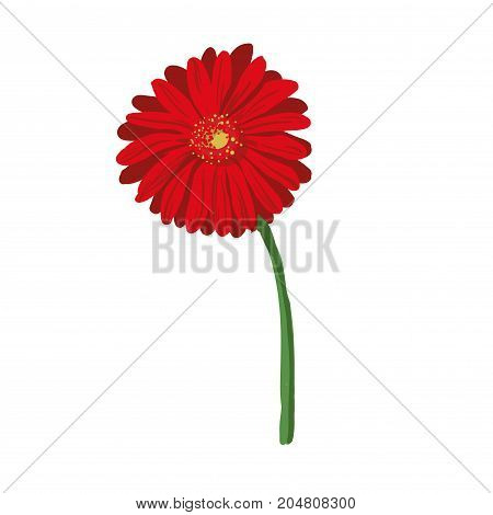 Red flower on white background. Natural elegance illustration design with blooming gerbera stock