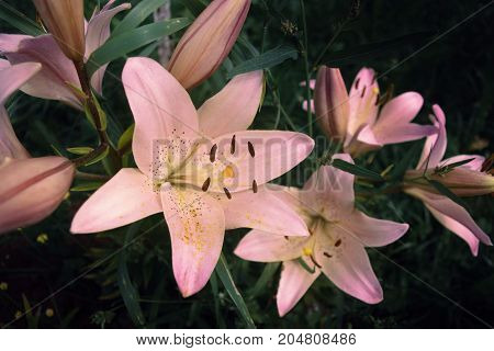 Pink lilies on a background of grass with stamens and pollen, close up