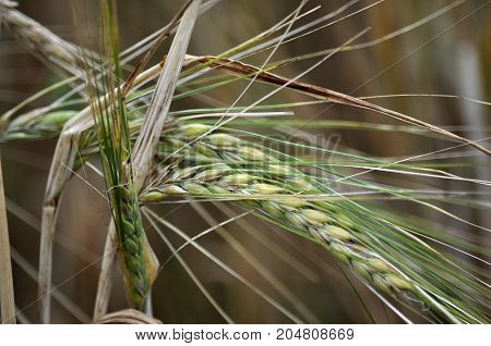 Ripening ears of barley seeds in a field close up