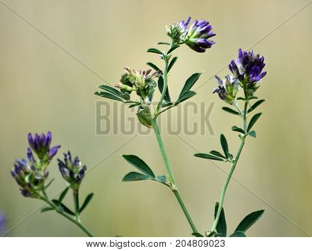 The stem of the flower planting of alfalfa - a valuable fodder for livestock