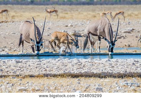Two adult Oryx or gemsbok and a young one splashing with water at water hole, Etosha NP, Namibia, Africa.