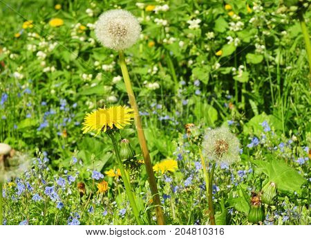 Meadow Of Dandelions to Make Dandelion Wine. Taraxacum is a large genus of flowering plants in the family Asteraceae and consists of species commonly known as dandelion.