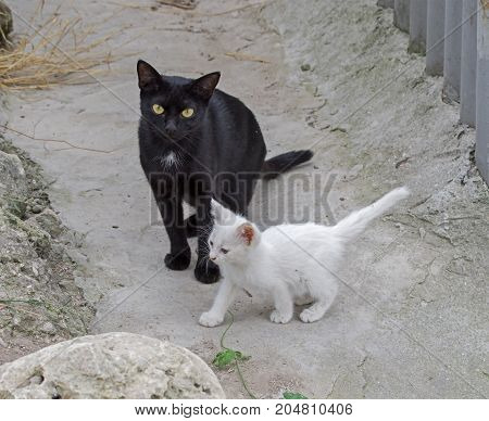 Cute white kitten and his black mother