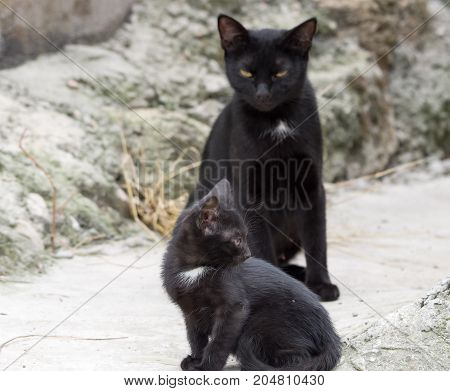 the black Cute kitten and his mother