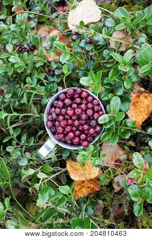 Cowberry in steel cup in a forest in autumn. Top view