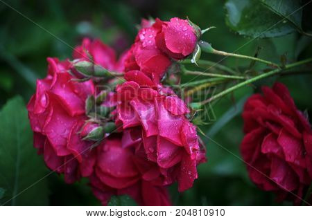 The branch with flowers red roses on blurred green background in garden