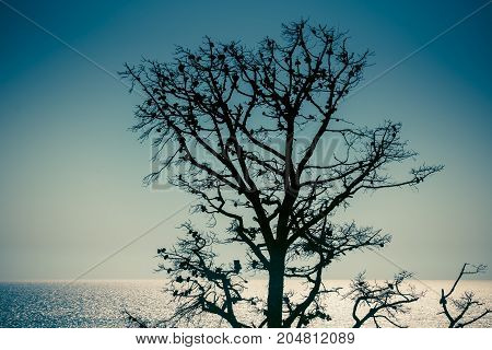 dried pine tree against the sky and the blue sea in backlight