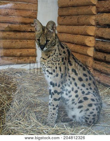 Yalta, Crimea - 11 July, Eared leopard in the aviary, 11 July, 2017. Zoo and animals on the territory of the hotel Yalta Intourist.