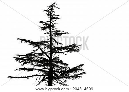 black silhouette of an old fir tree on white background
