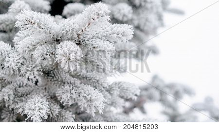Fir branch on snow with festive lights