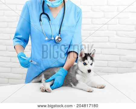 Doctor in blue doing injection by prick for puppy with gray fur, blue eye, like wolf. Incognito female veterinarian in hospital caring about little husky dog.  Modern vet clinic.Caring about pets.