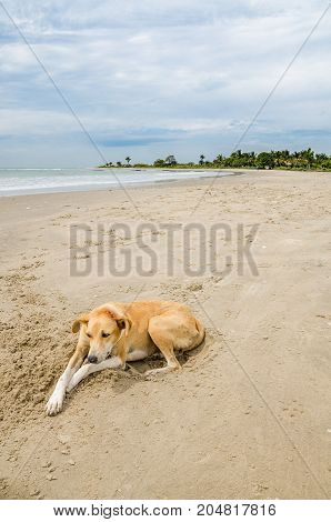 Stray wild dog laying at beach with ocean in background, The Gambia, West Africa.