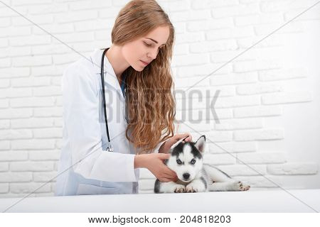 Pretty blonde young veterinarian caring about husky puppy, who sitting on table and looking at camera. Doctor in uniform holding little puppy husky, like wolf, checking body temperature. Lovely pet.