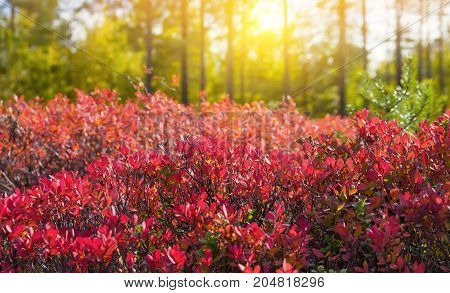 Autumn landscape with red bush of bilberry in beams of the sun