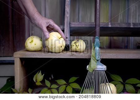 Female hand putting ripe apples on the wooden shelf garden rake in the foreground