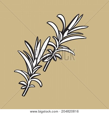 rosemary herbs, spices, ingredients, black and white outline sketch style vector illustration on color background. Realistic hand drawing of rosemary leaves with space for text.