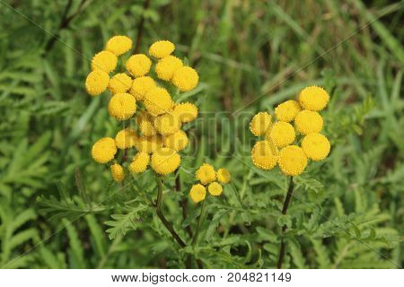 yellow wildflowers in a meadow tansy Tanacetum vulgare